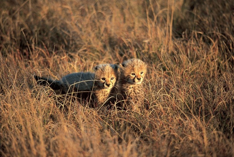 amanis-cheetah-cubs